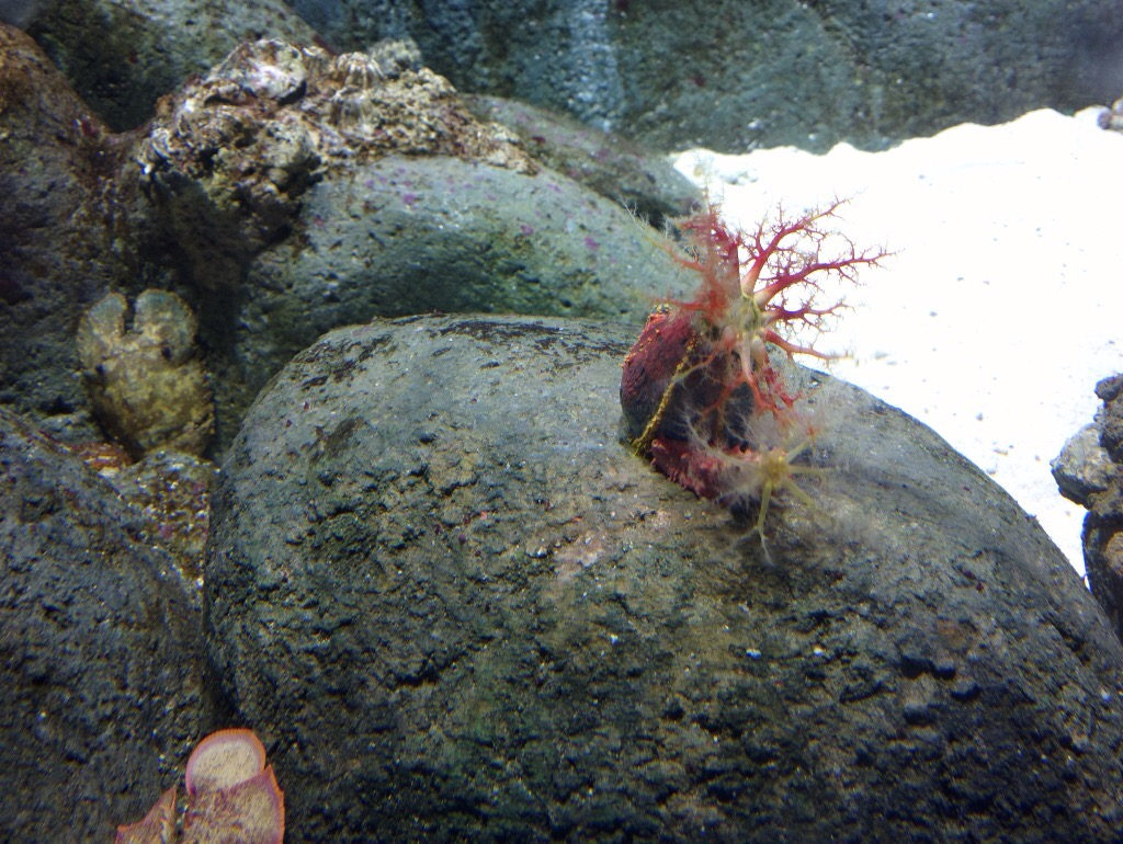 This is a Sea Cucumber aka Sea Apple. Not sure why it is named after two fruits at the same time, but all I know is, apparently, the chinese only eat the ugly ones as a delicacy.