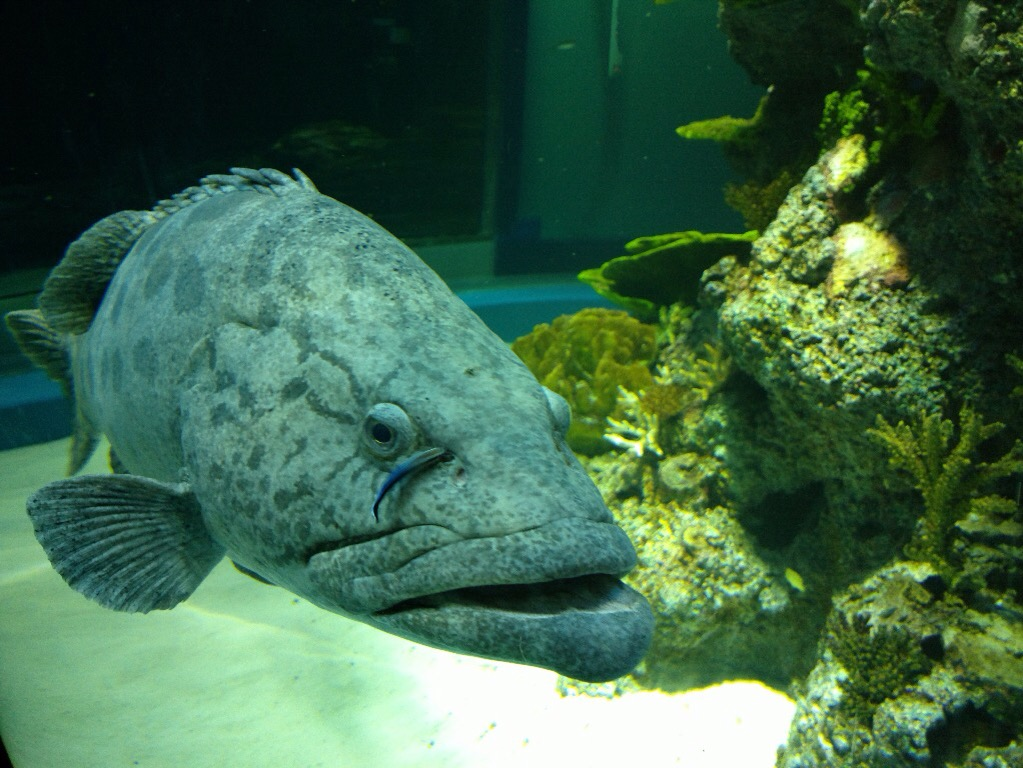 This fat grouper would cost at least $100 at a seafood market!